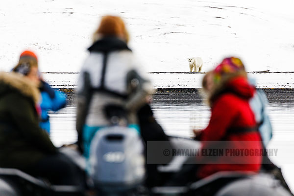 Tourists in a zodiac observing a polar bear on the beach in Spitsbergen, Norway