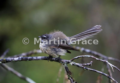 South Island subspecies of New Zealand Fantail (Rhipidura fuliginosa ssp fuliginosa) with feathers fluffed up while preening,...
