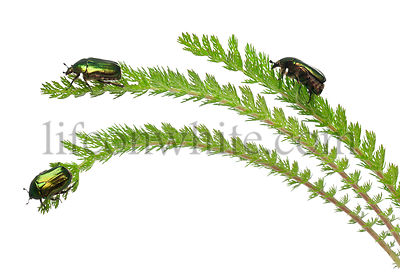 Rose chafers, Cetonia aurata, on plant in front of white background
