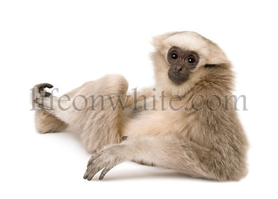 Young Pileated Gibbon, 4 months old, sitting looking over shoulder in front of white background