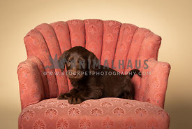 Brown labradoodle puppy lying on pink chair in studio