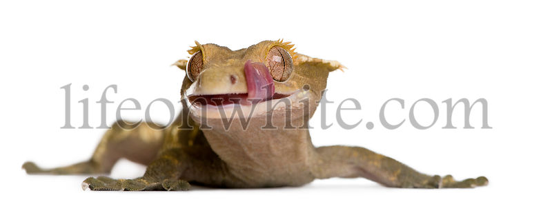 New Caledonian Crested Gecko, Rhacodactylus ciliatus, licking lip against white background