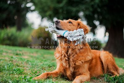 A golden retriever plays with a rolled up newspaper
