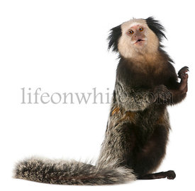 White-headed Marmoset, Callithrix geoffroyi, standing in front of white background