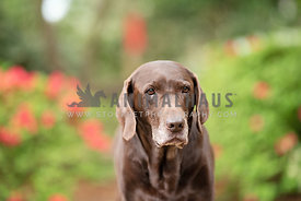 close up of serious looking older chocolate lab in front of blurred out flowering bushes