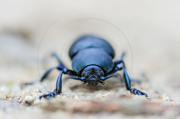 Crache-sang - Bloody-nosed Beetle (Timarcha tenebricosa)