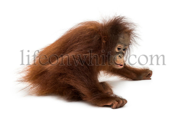 Young Bornean orangutan sitting down, Pongo pygmaeus, 18 months old, isolated on white