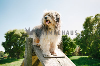 A dog standing on top of a wooden A Frame