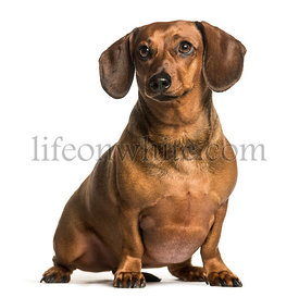 Fat dachshund sitting against white background