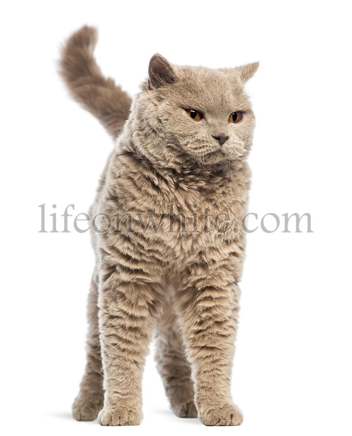Selkirk Rex against white background