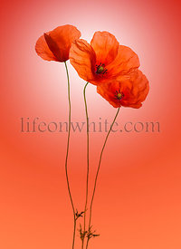 Poppies on a red gradient  background