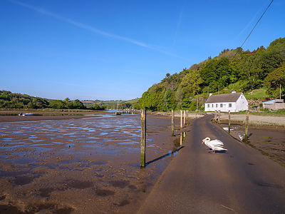 Low tide with swan crossing the Avon estuary tidal road at Aveton Gifford, Devon, UK