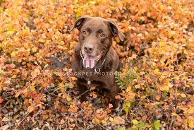 A chocolate lab sitting in autumn foliage