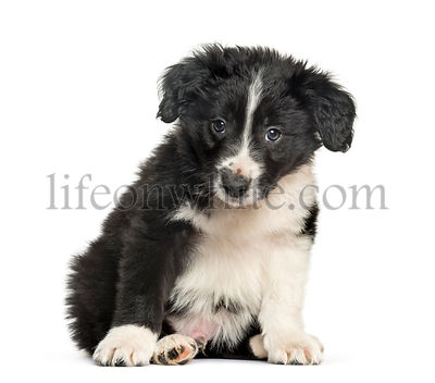 Border Collie , 2 months, sitting against white background