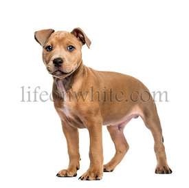 American Bully, 2 months old, in front of white background
