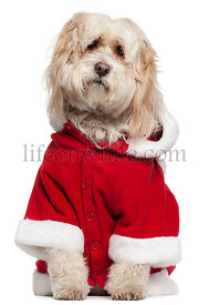 Tibetan Terrier wearing Santa outfit, 9 years old, sitting in front of white background
