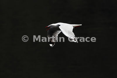 High-contrast image of a Red-Billed Gull (Larus novaehollandiae scopulinus) calling in flight against a dark background, Doub...