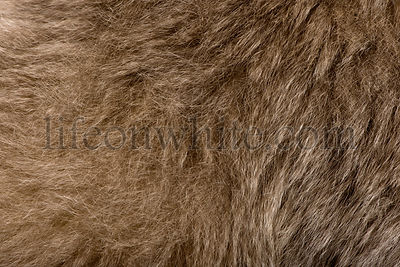 Close-up of Young Pileated Gibbon's fur, 1 year old