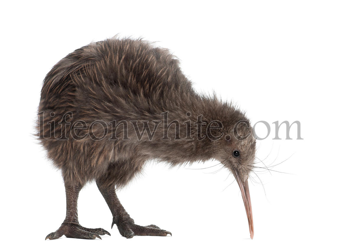 North Island Brown Kiwi, Apteryx mantelli, 5 months old, standing against white background