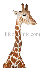 Somali Giraffe, commonly known as Reticulated Giraffe, Giraffa camelopardalis reticulata, 2 and a half years old against whit...