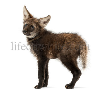 Maned Wolf cub, standing, looking away, Chrysocyon brachyurus, isolated on white