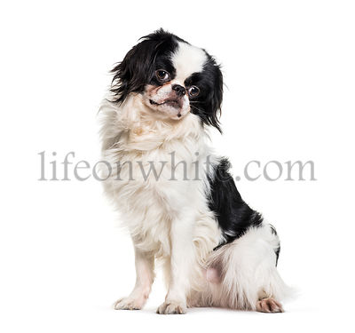 Japanese Chin, 2 years old, sitting against white background