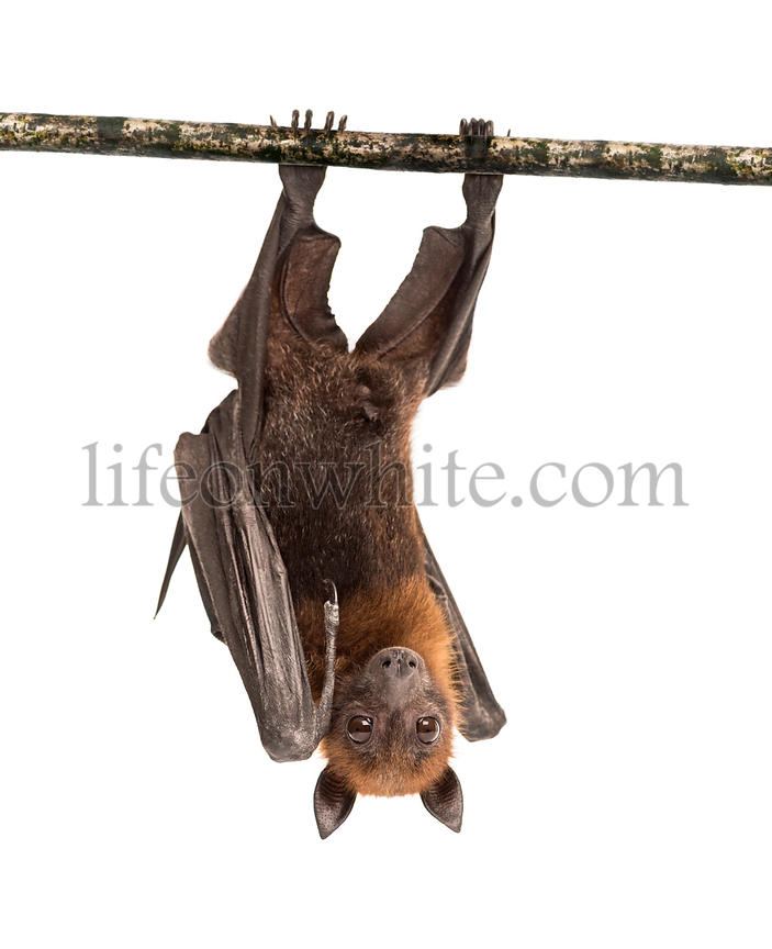 Lyle's flying fox hanging from a branch, Pteropus lylei