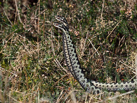 Common European Adder Vipera berus two males fighting over a female known as an Adder dance.  A male will try and push the ri...