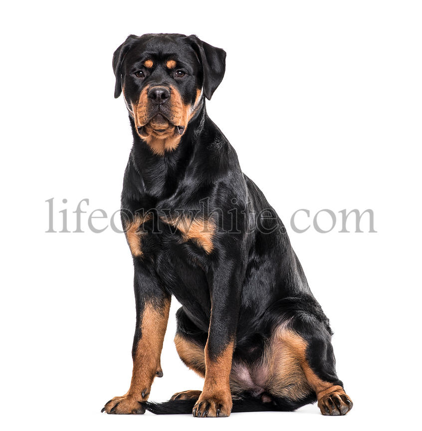 Rottweiler dog sitting against white background