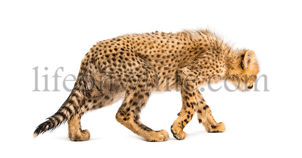 Back view of three months old cheetah cubs walking away, isolated on white