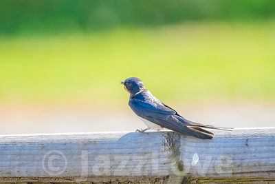 Barn swallows perching on wooden barrier,on british countryside in summer.
