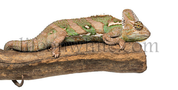 Side view of a Veiled chameleon lying on a branch, Chamaeleo calyptratus, isolated on white