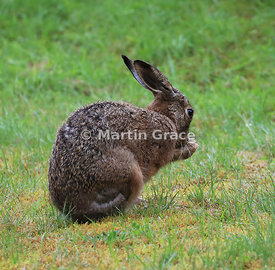 European Brown Hare (Lepus europaeus) grooming and shadow-boxing, Cairngorm National Park, Scotland: Image 4 of a sequence of 13