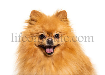 Happy Pomeranian, isolated on white