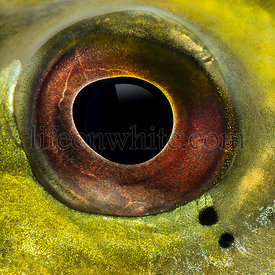 Close-up of a fresh water aquarium fish\'s eye