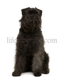 Bouvier des Ardennes dog, 1 year old, sitting in front of white background