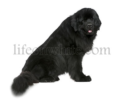 Newfoundland dog, 4 and a half years old, sitting