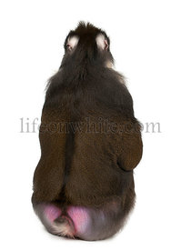 Rear view of Mandrill sitting, Mandrillus sphinx, 22 years old, primate of the Old World monkey family against white background