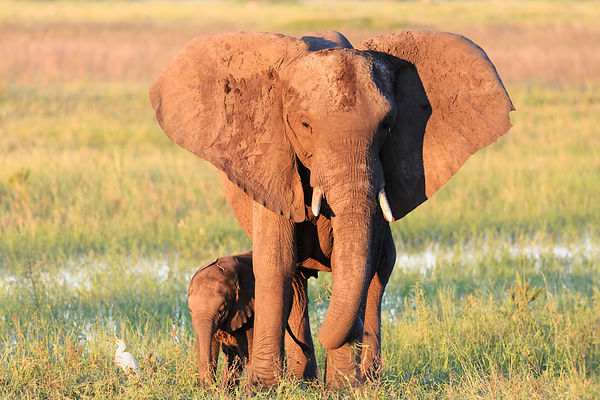 Elephant Mother and Baby Grazing