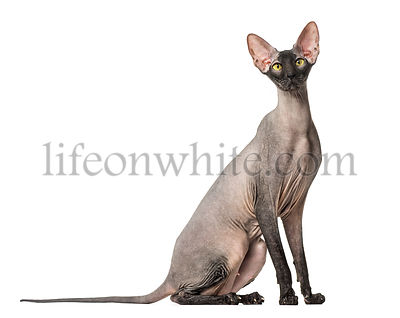 Peterbald, naked cat, isolated on white