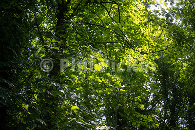 Looking into the dense foliage of an English wood on a summers day.