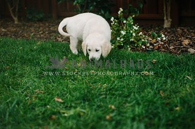 A golden retriever puppy sniffing the lawn