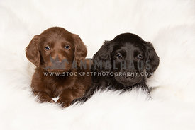 Two cute labradoodle puppies on white blanket