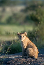 Lion cub at the Serengeti National Park, Tanzania, Africa