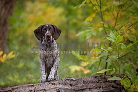 A pointer puppy posing on a log