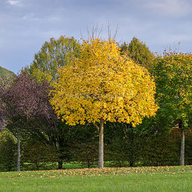 An Acer tree in autumn, fall colour with vivid yellow leaves.