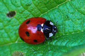Closeup on the colorful seven-spot ladybird, Coccinella septempunctata on a green leaf