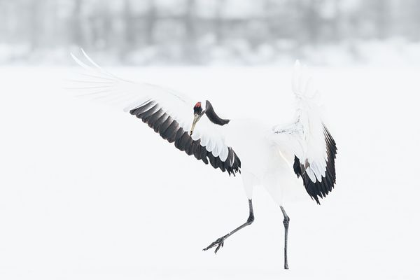 Red-Crowned Crane IV