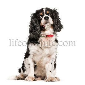 Cavalier King Charles, 9 years old, sitting in front of white background