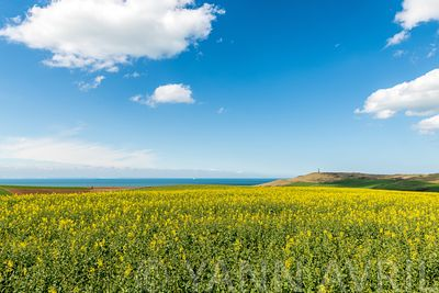 Champ de Colza sur la côte d'opale, France, Hauts de France ∞ Rape Field on the Opal Coast, France, Hauts de France, Escalles
